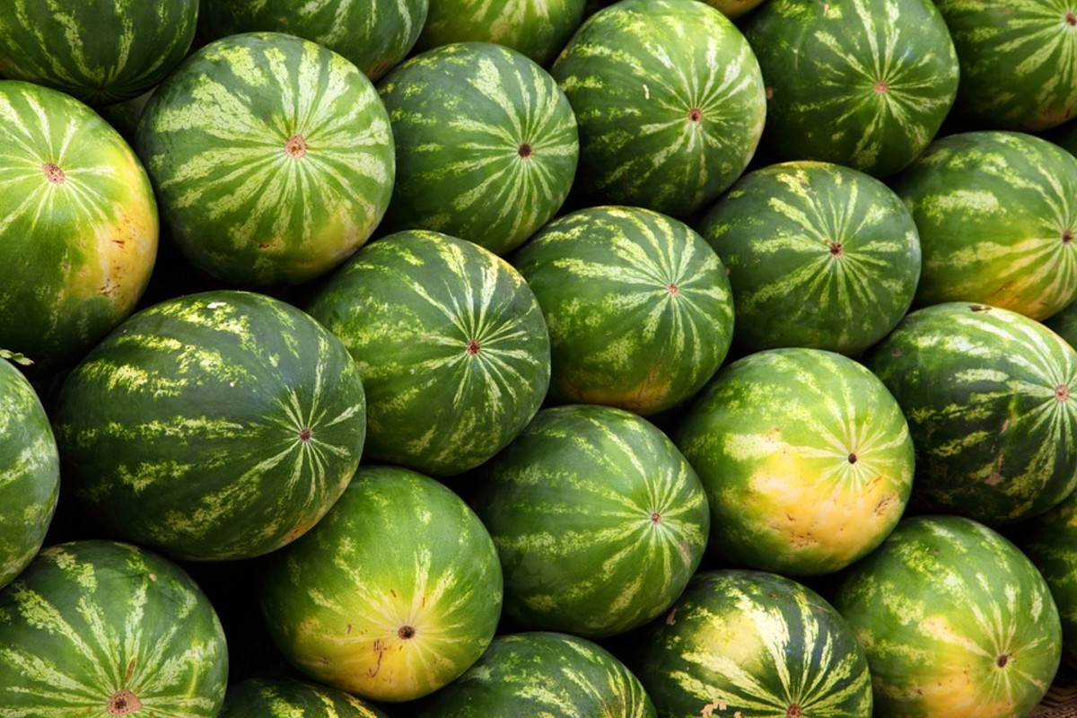 Harvested watermelons.  Note the white spots indicating that the fruit is ripe.