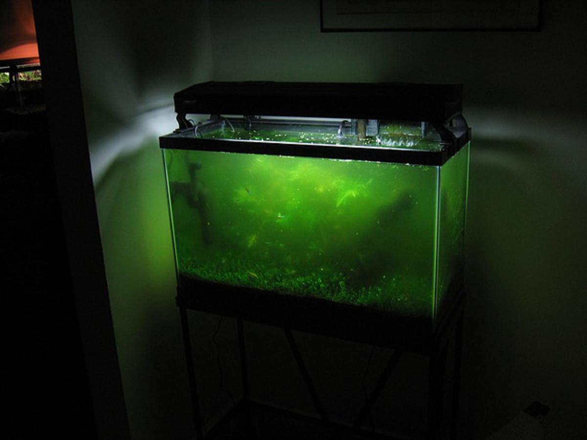 You Need Algae Eater Fish Now!