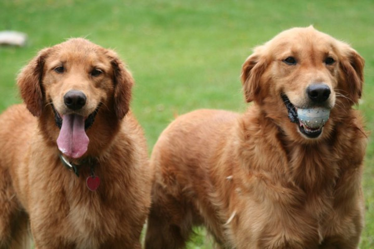 Breaking Down the Retriever Dog Breeds