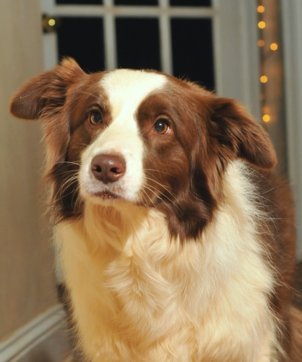 Natural Remedies for Canine Joint Pain