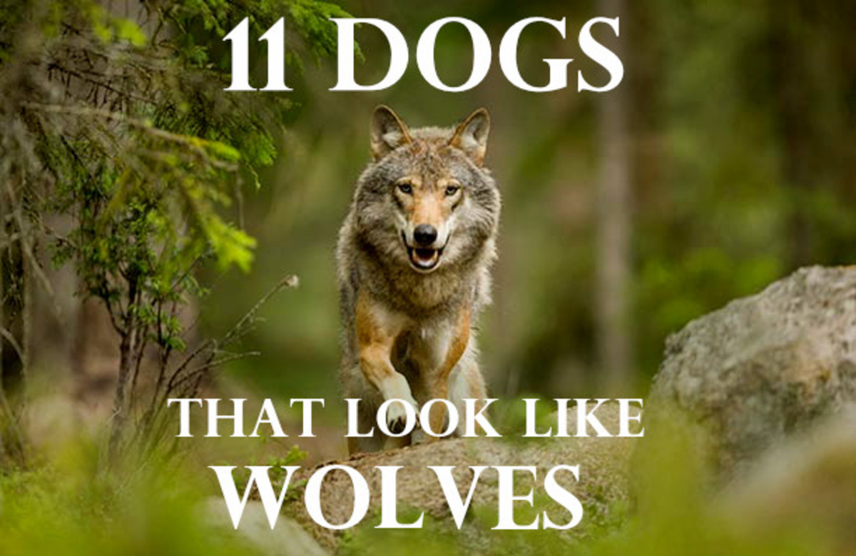 If you long to run with the wolves, I'd suggest getting a dog that looks like a wolf instead.