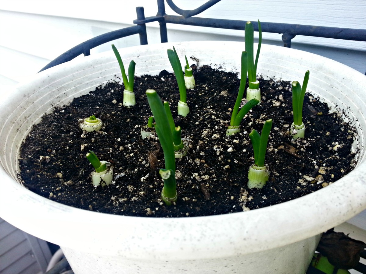 This is 4 days after planting.  Yep, all the green onions are beginning to sprout!  Most are already over 2 inches tall.