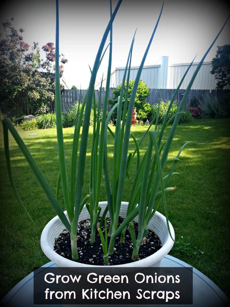 Green Onions ready to eat.  So easy to grow.  If you look closely you can even see that the one in the front has been harvested and started sprouting again.