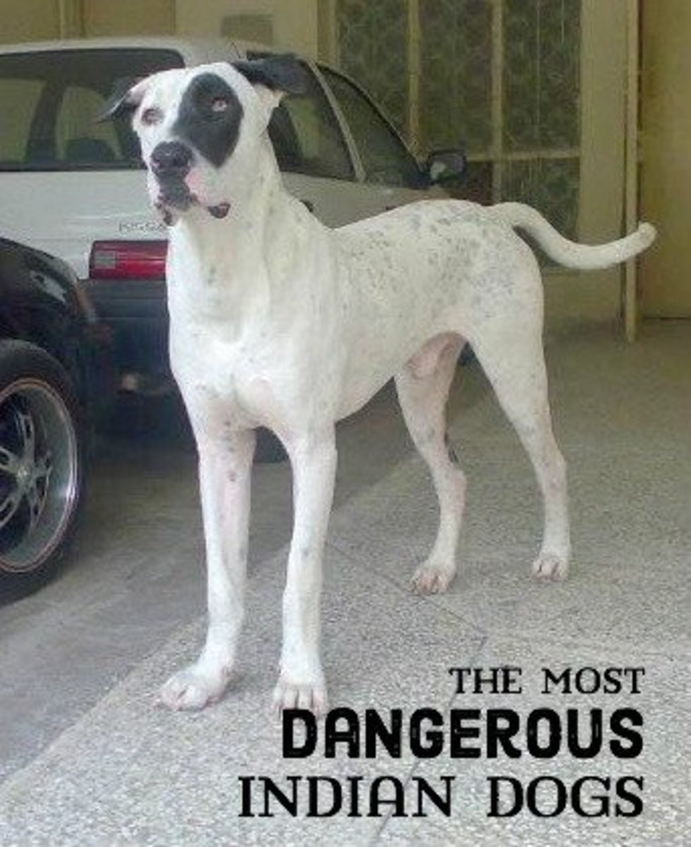 An eleven-month-old male Bully Kutta.