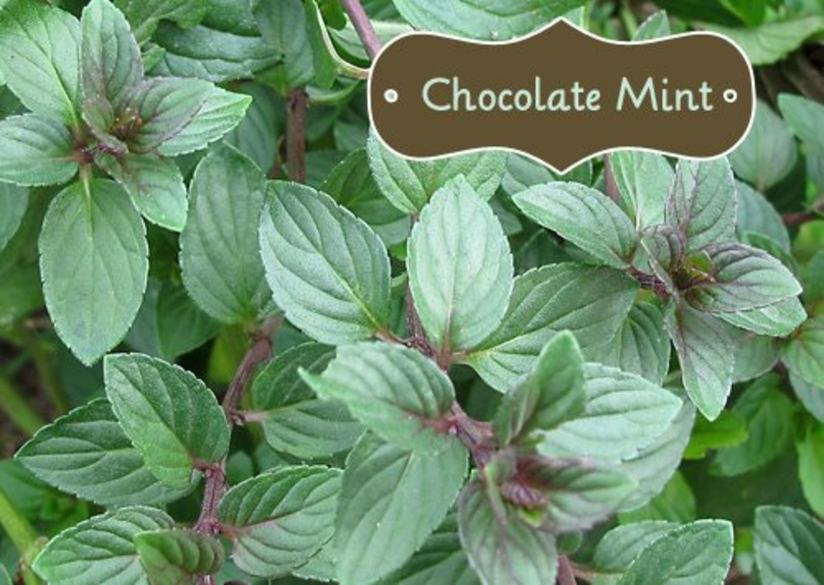 I Bought A Chocolate Mint Plant... What Do I Do Next?