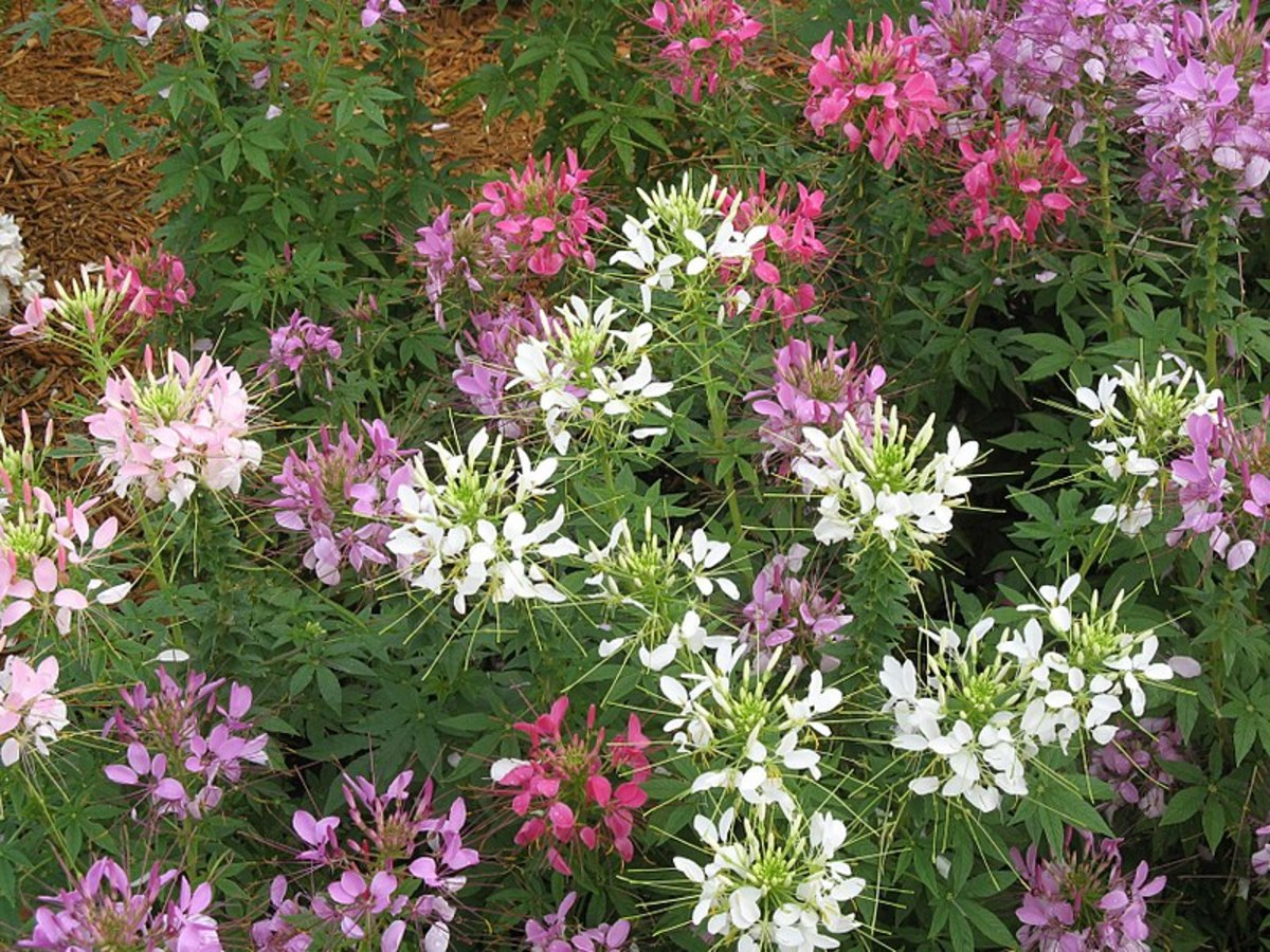 How to Grow Cleome, a Cottage Garden Favorite