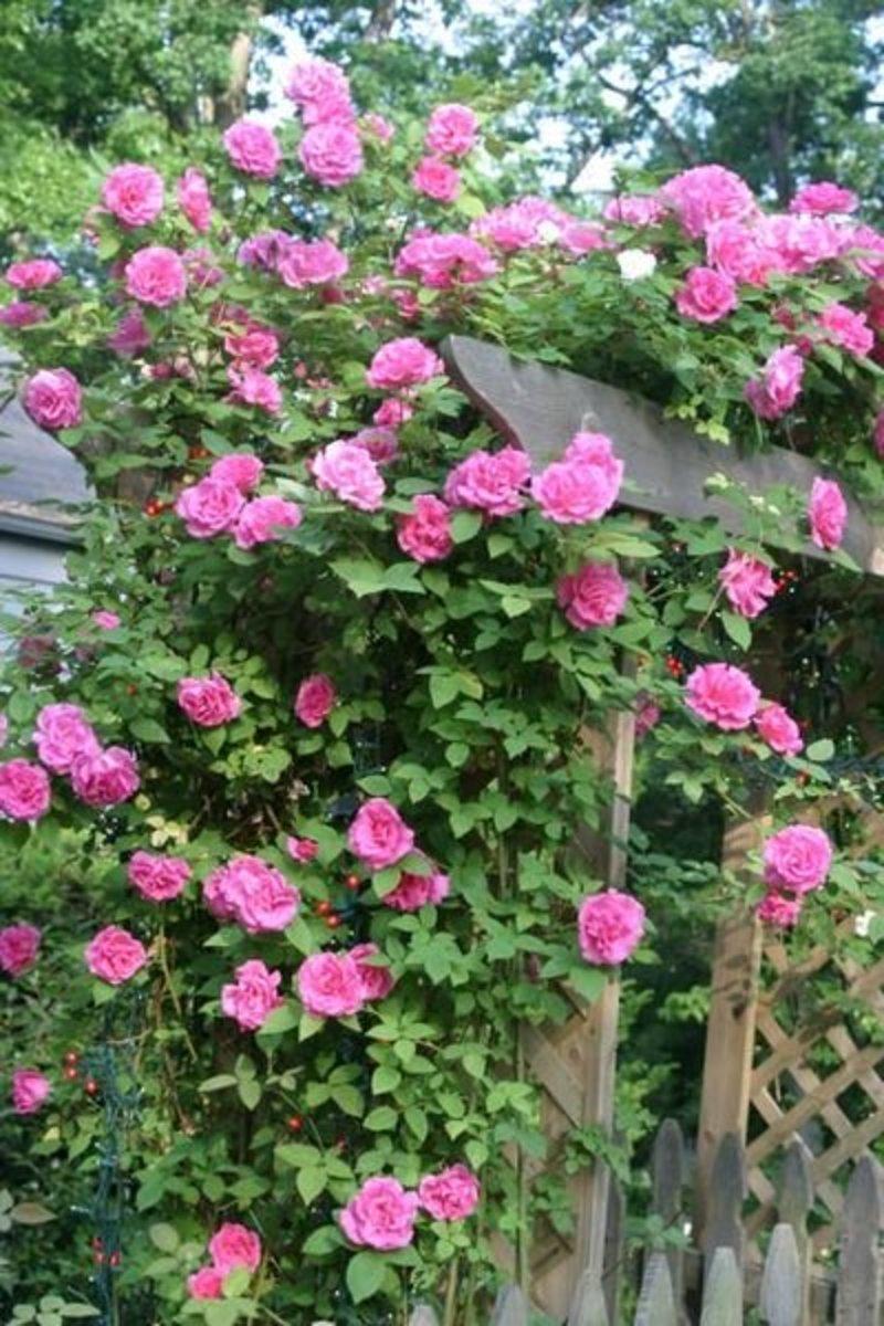How to Grow a Zephirine Drouhin Rose, an Heirloom Rosebush