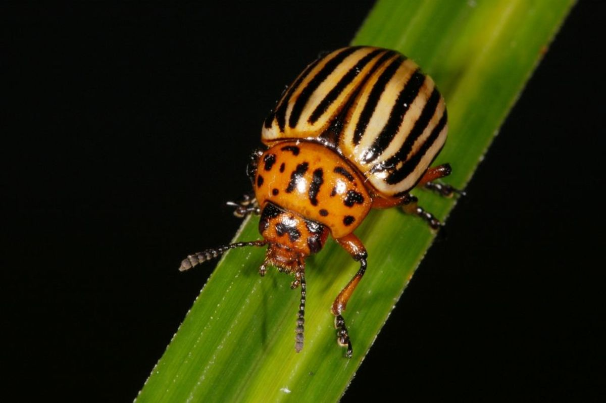 How to Rid Your Garden of Potato Beetles