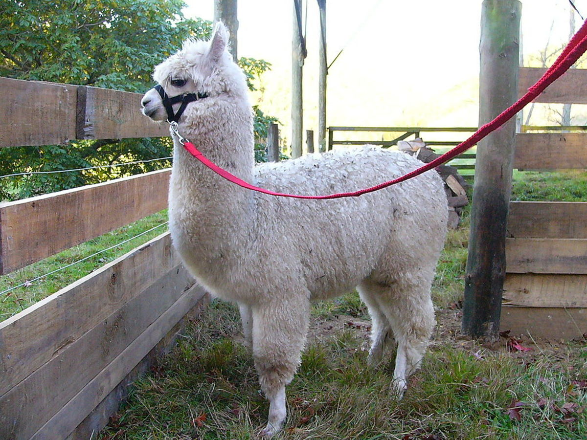 Alpaca Fiber, Llama Fiber, Sheep Fiber or Wool, How Are They Different?