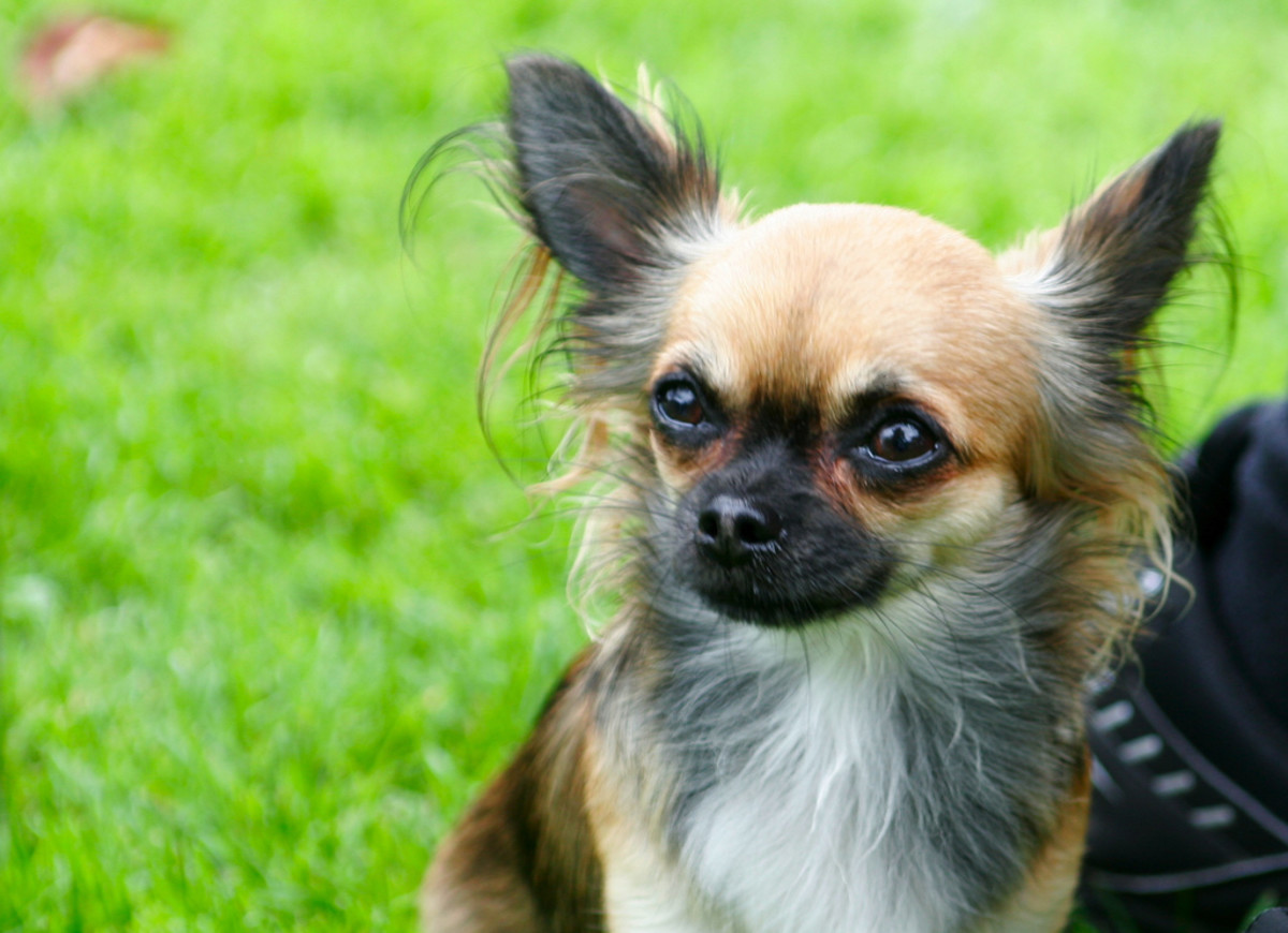 Chihuahua's may be small, but they've got big personalities! This article will help you find a name for your feisty new pup.