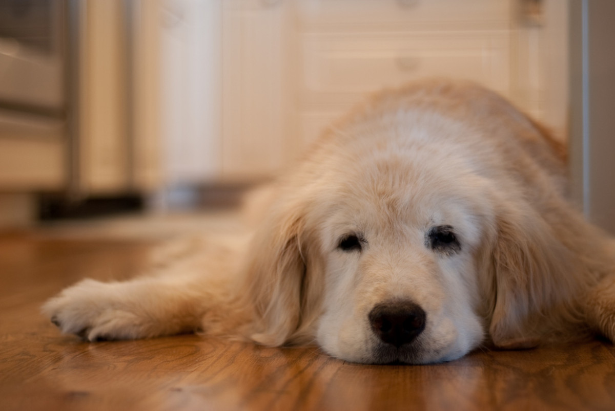 Cognitive Dysfunction Syndrome—Helping Your Senior Dog