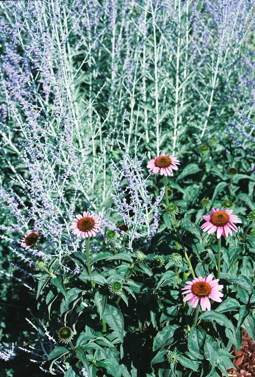 Echinacea and perovskia.