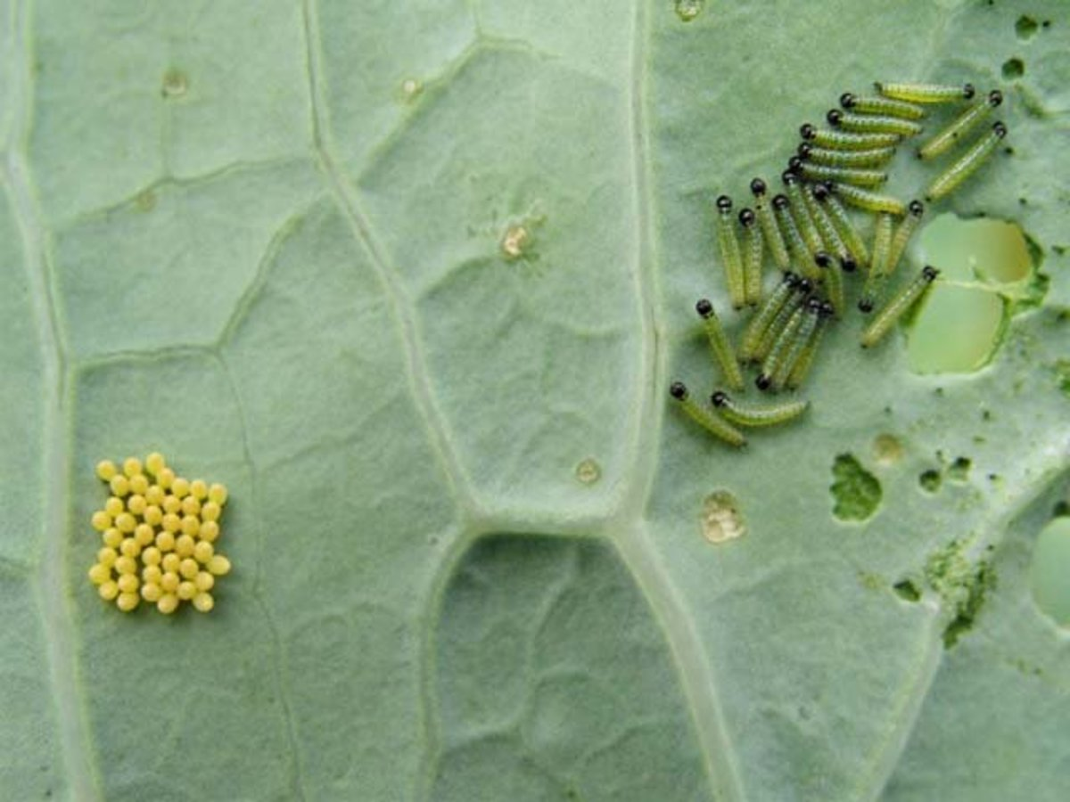 Cabbage worms and eggs