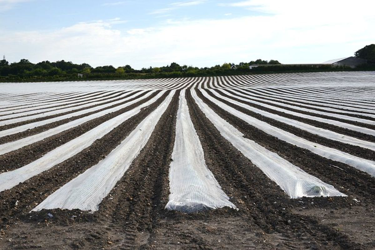 Floating row covers.  Notice how the edges are covered with soil to anchor the covers and prevent any insects from crawling underneath.
