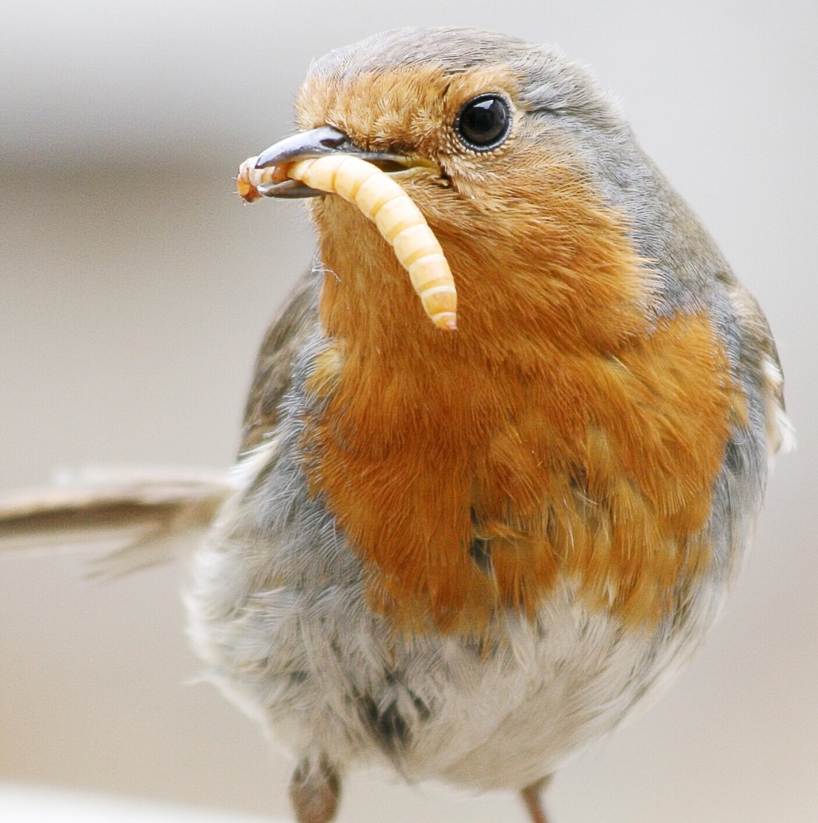 Mealworms are the larval form of a beetle. They are edible for humans as well as this European robin.