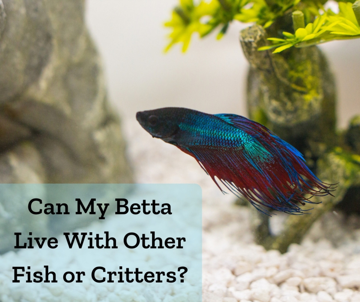 Betta fish can have tank mates and even live in a community tank under certain conditions.