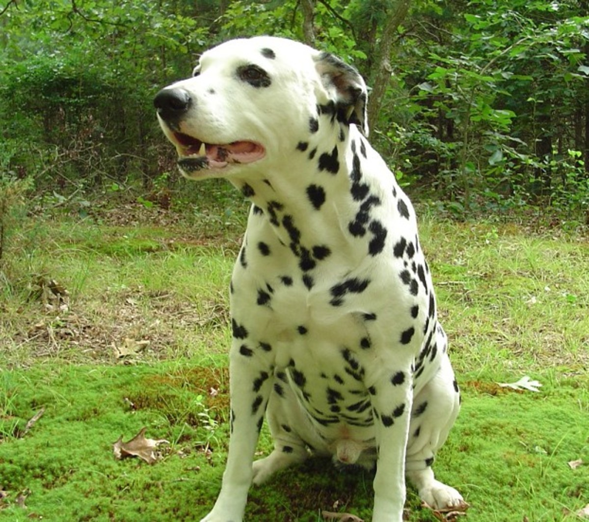 Dalmatian urinary problems.