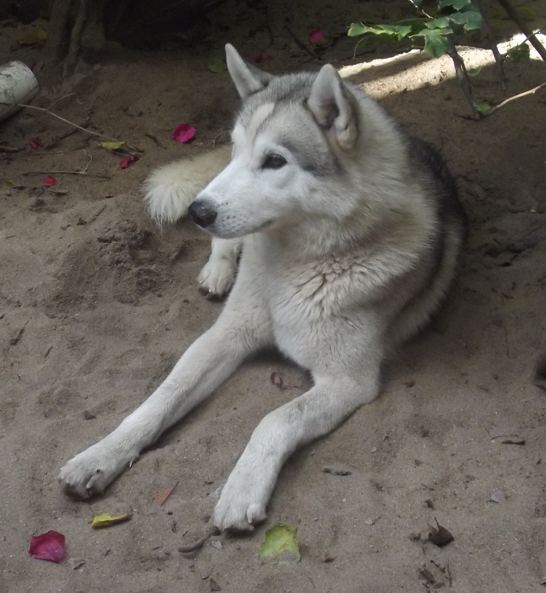 Some dogs look like a wolf, but they are not a dire wolf.
