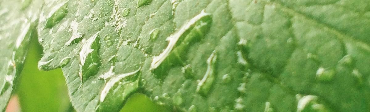 Dew on a tomato leaf.