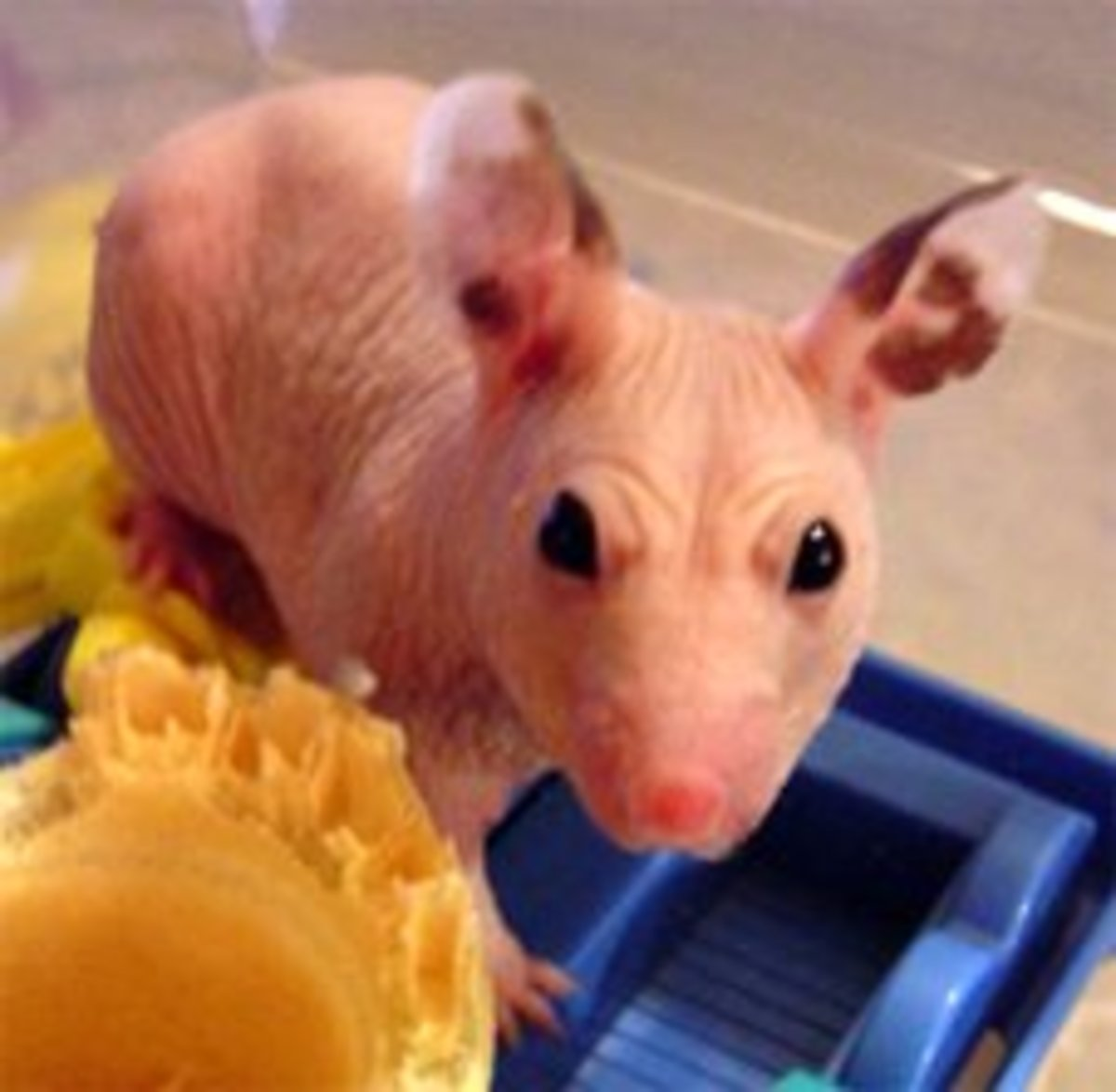 Hairless hamsters are becoming common in many pet stores. Would you own one?