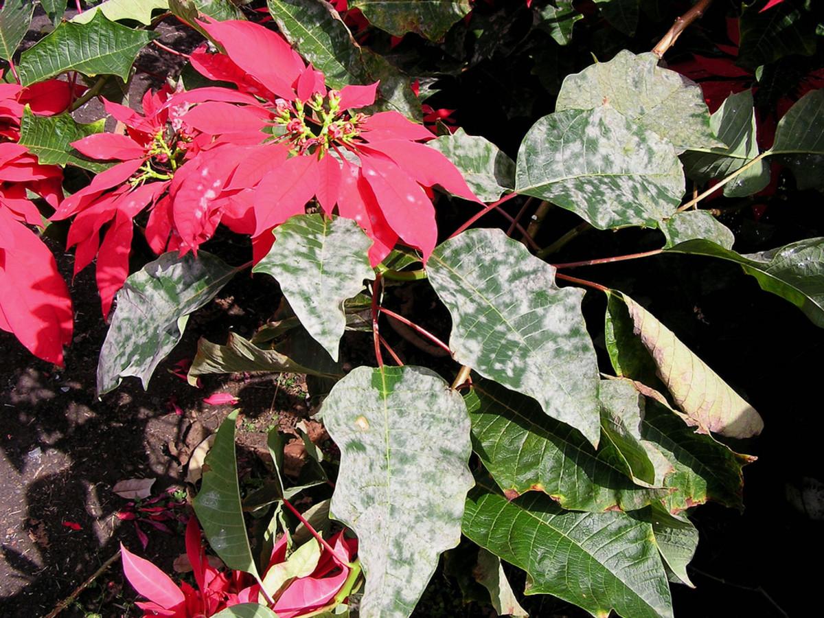 Powdery mildew on poinsettia plant.