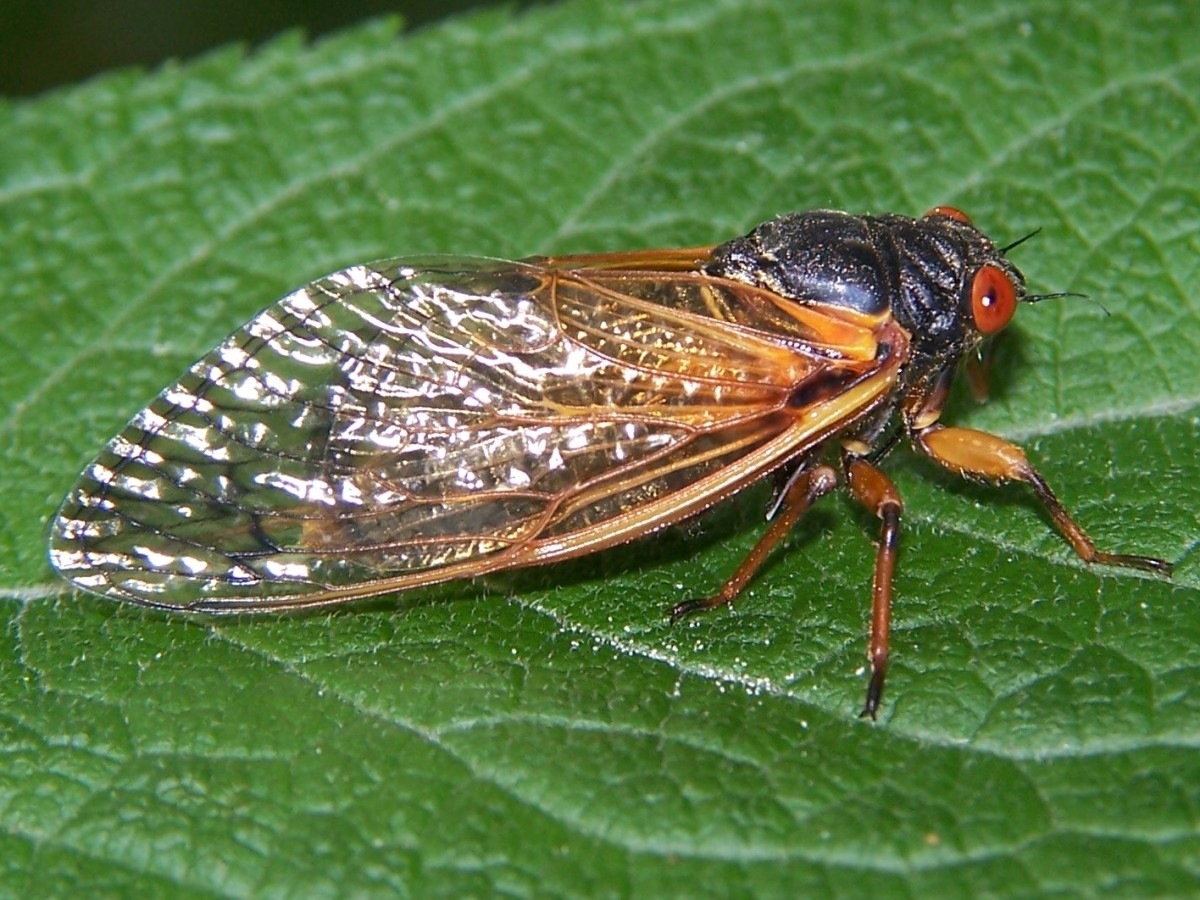 Is There a Difference Between a Cicada and a Locust?