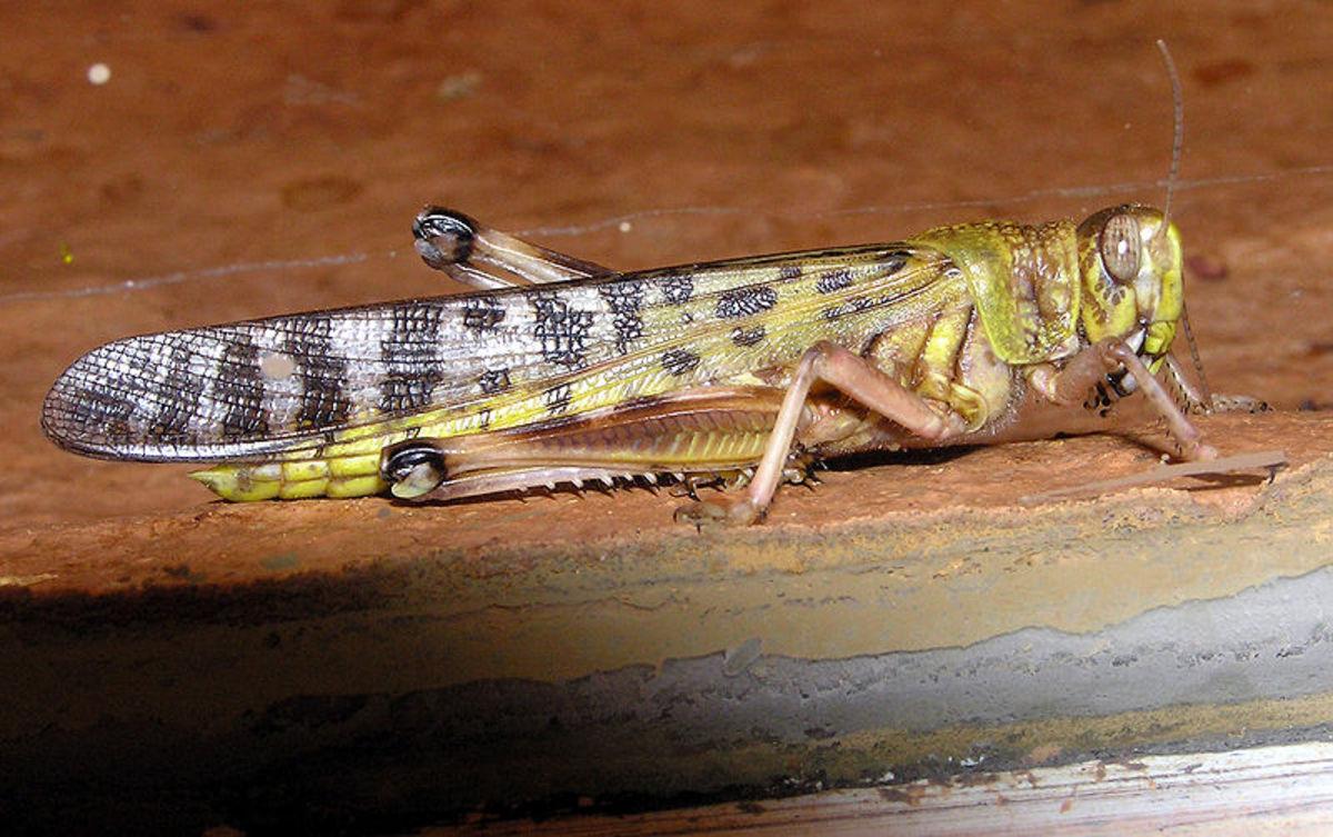 A desert locust, the most widely known locust species.
