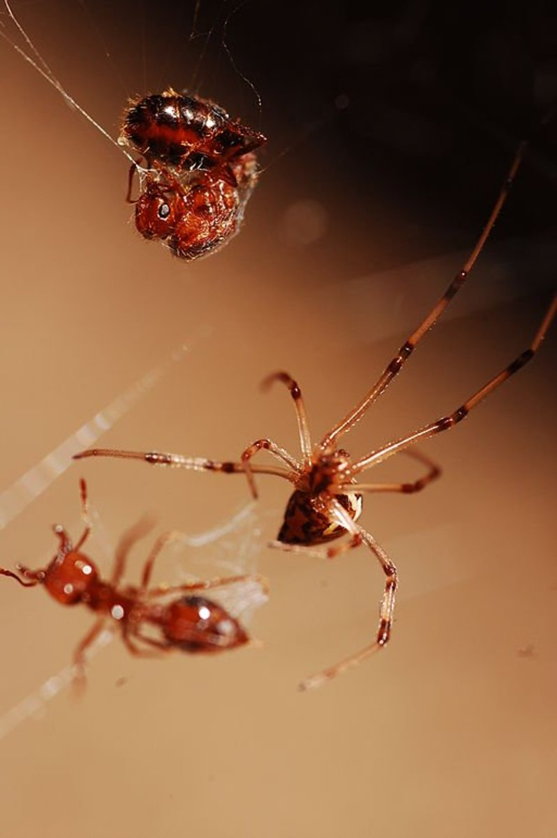 Brown Widow vs. Ants