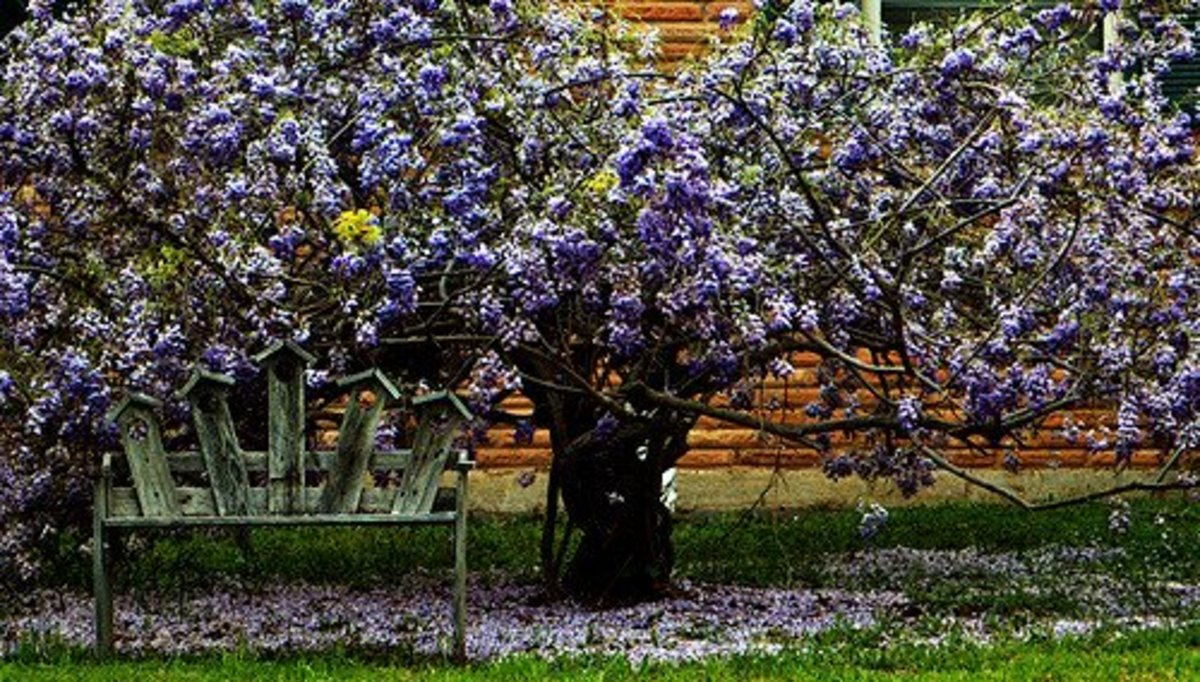 "Wisterias prefer to climb and spread, but with proper care can be trained into a standard or ""tree"" form."