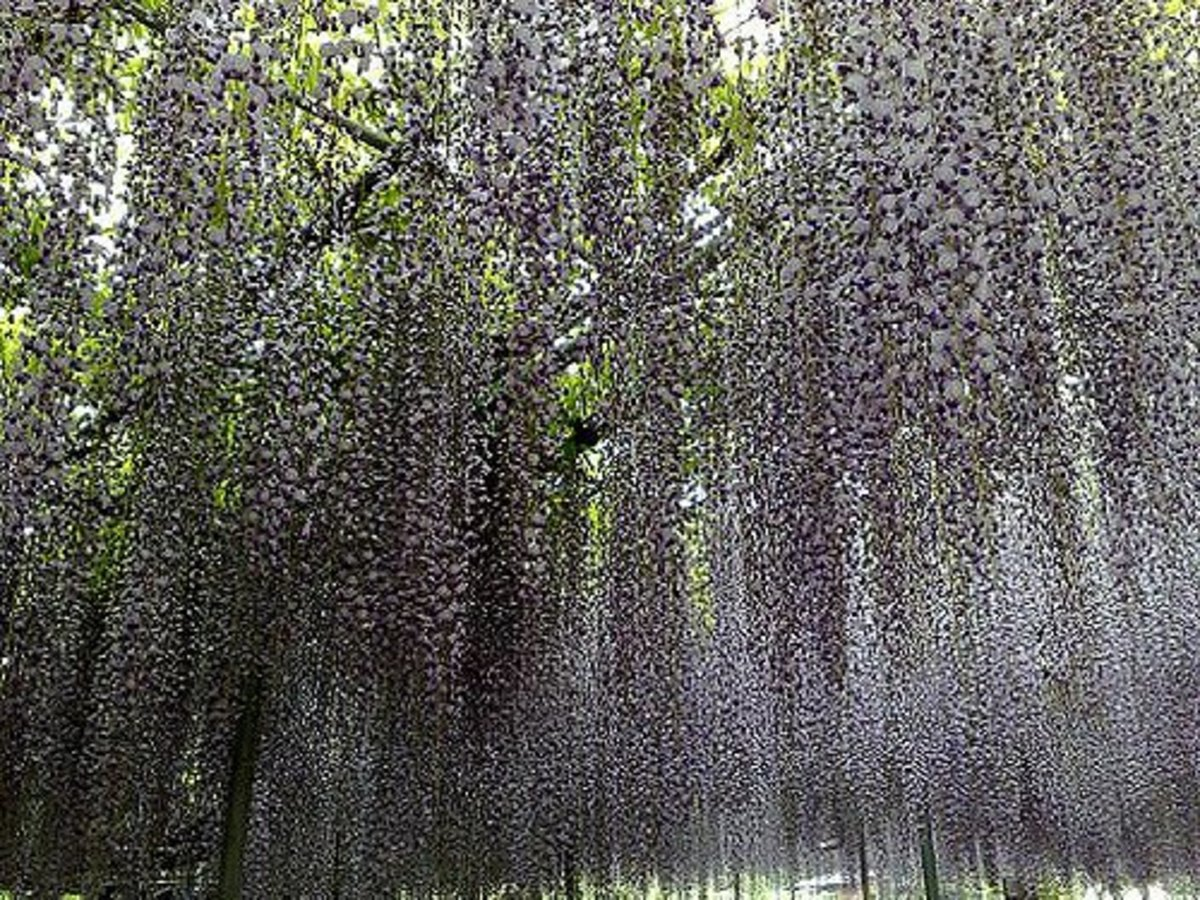 Japanese wisteria in bloom appears almost as purple rain falling down.