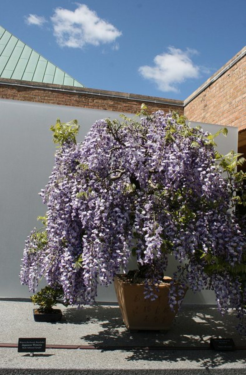 "Afters years of training and pruning, wisteria vines can be grown into beautiful miniature ""trees."""
