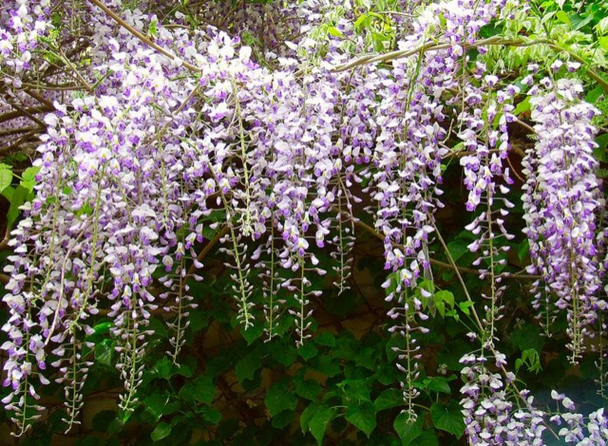 Wisteria is a beautiful, fast growing vine that covers pergolas or arbors.
