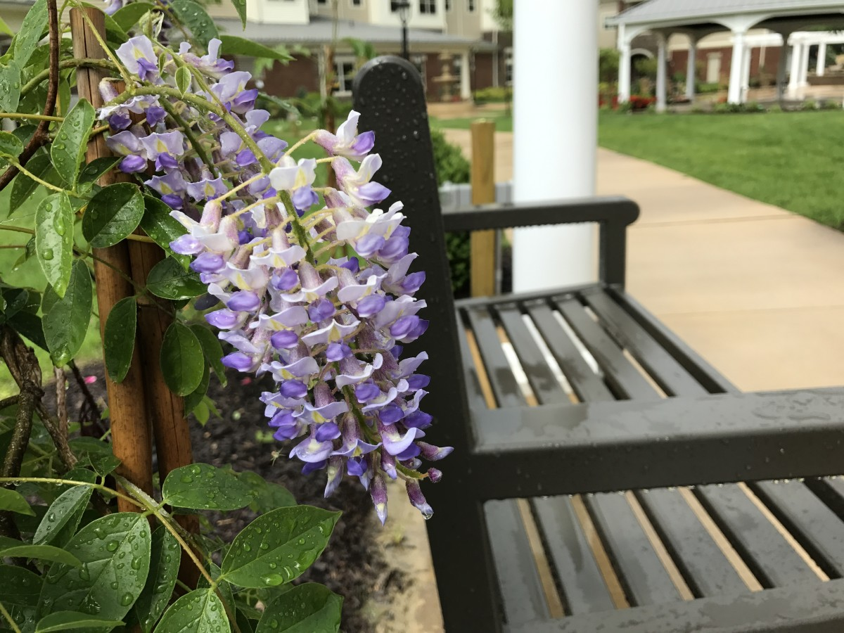With the proper care, your wisteria can flourish without taking over.