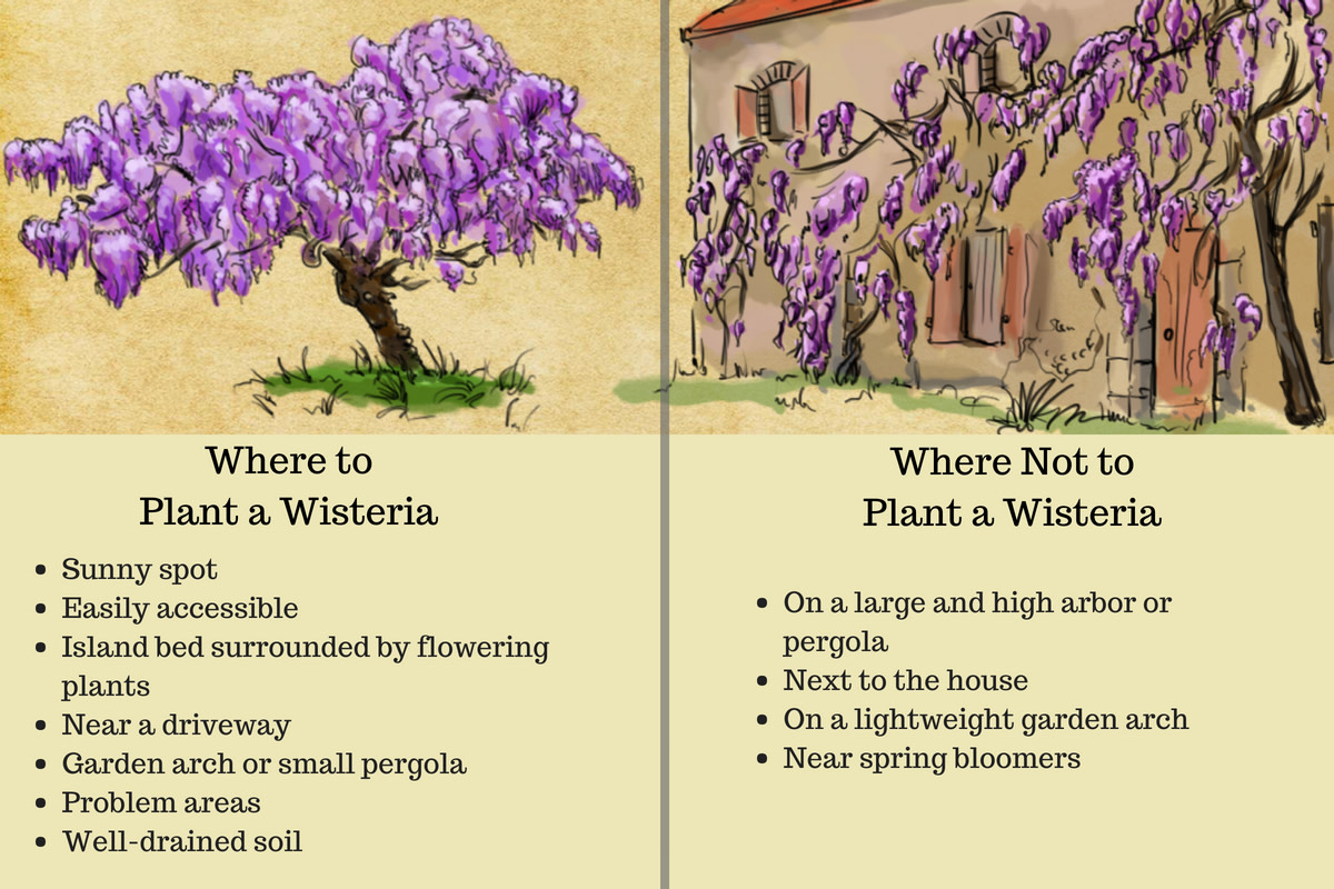 Choosing a location for your wisteria is one of the most important decisions since the plant's ability to flower and be controlled depends on this factor.