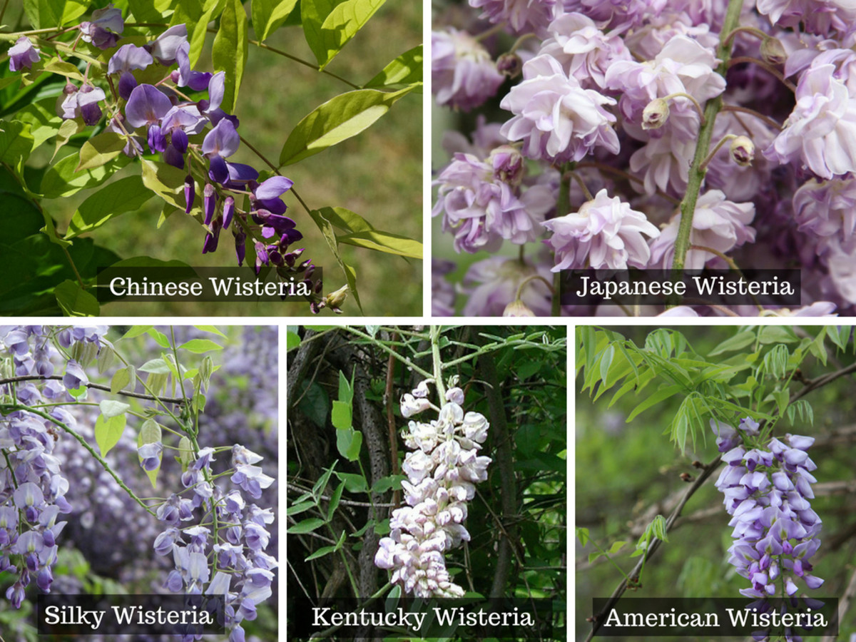 Here are the most common species of wisterias.