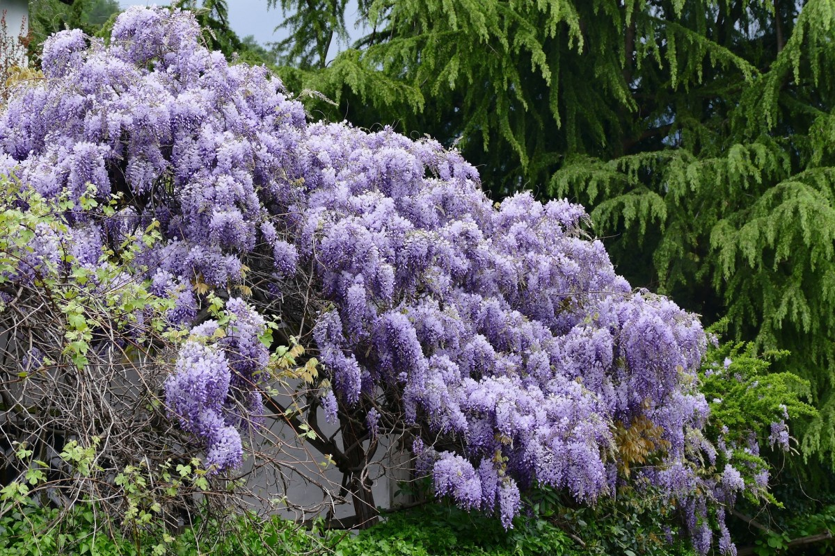 If your established wisteria doesn't look like this during its flowering period, you've got a problem.