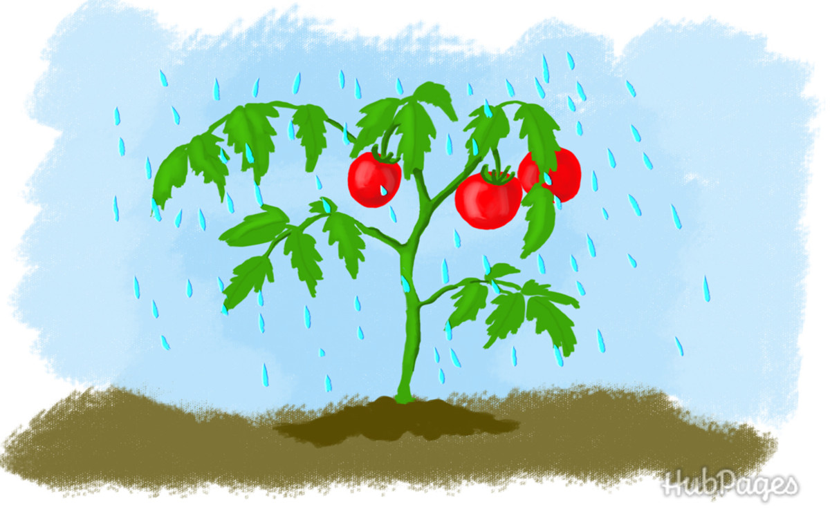 Rainwater is the best source of water for your tomato plants.