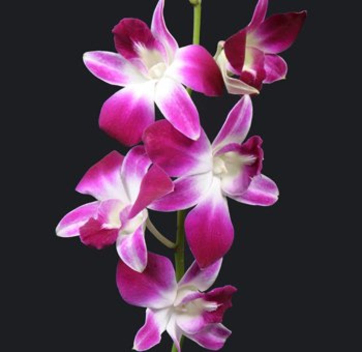 Tropical Plants as well Getting Your Cymbidium Orchid To Flower moreover Aeonium Arboreum likewise Dendrobium Orchid Boutonniere in addition Cephalocereus Senilis. on growing orchids indoors