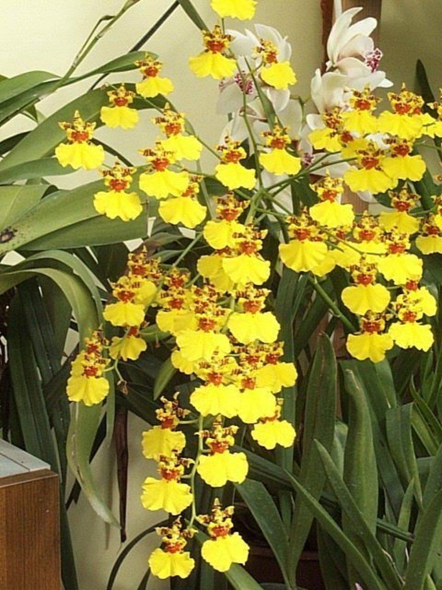 Oncidium Орхидея