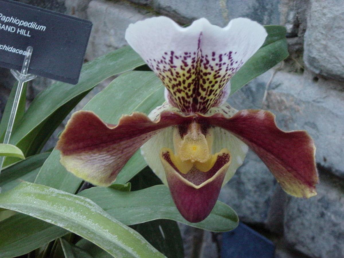 Венерин башмачок Орхидея