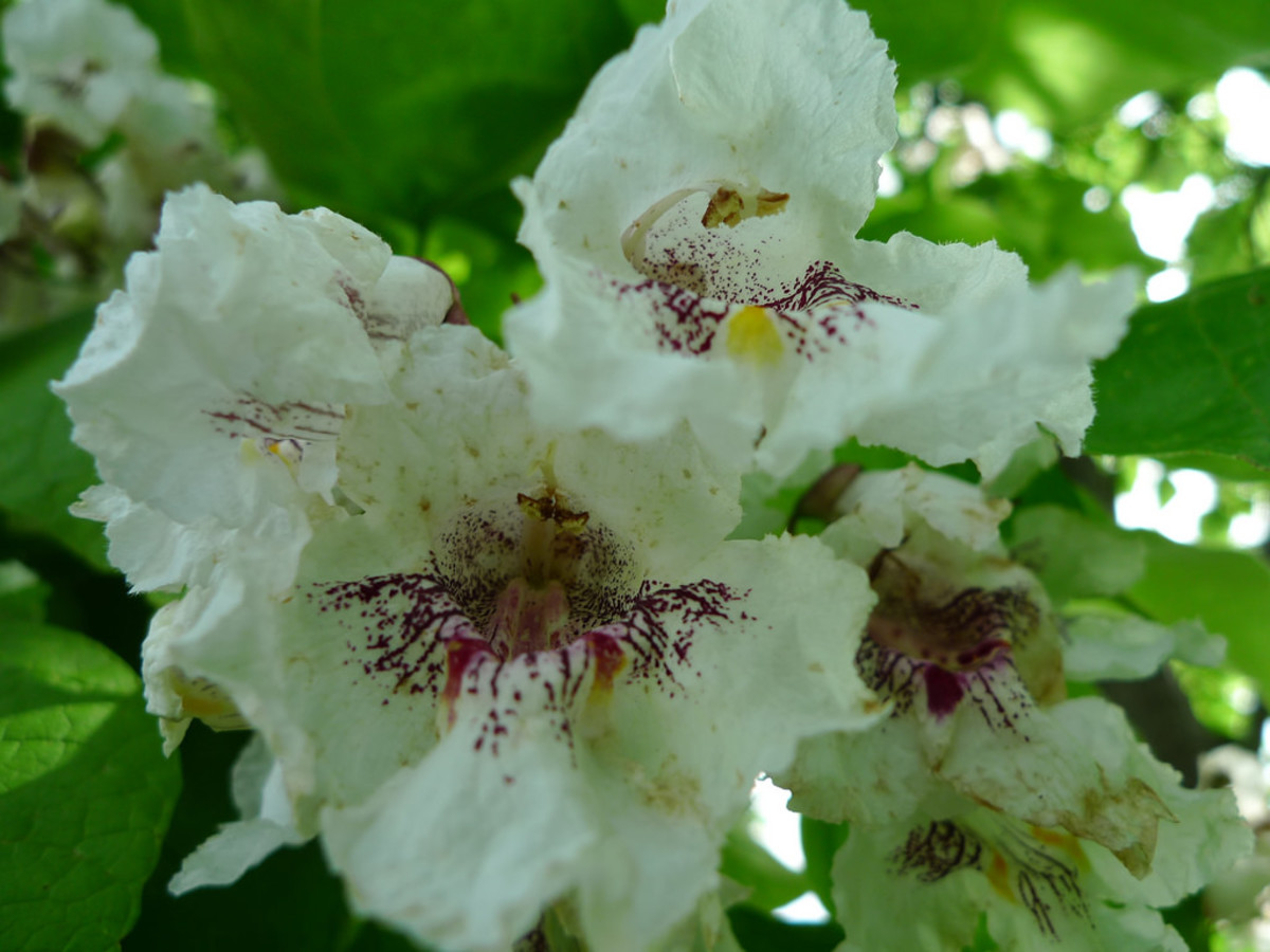 Catalpa flowers are white with purple spots on the inside.