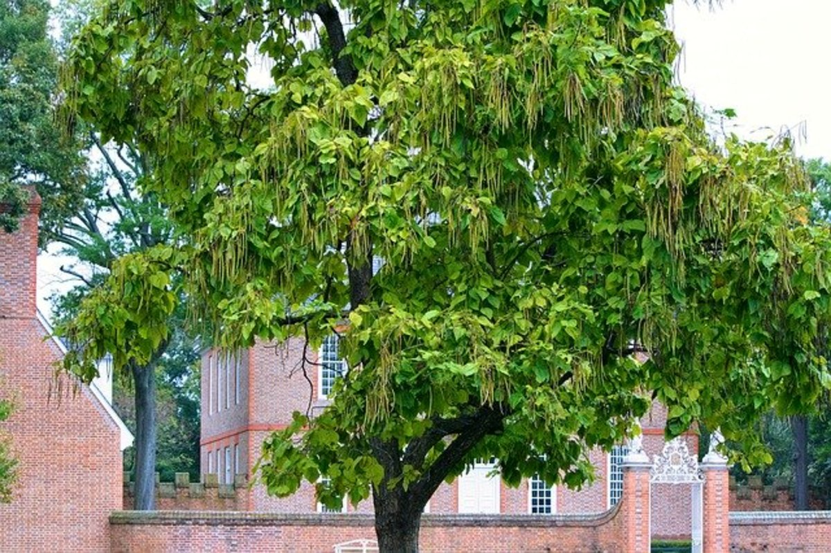 The catalpa tree is an ornamental shade tree.