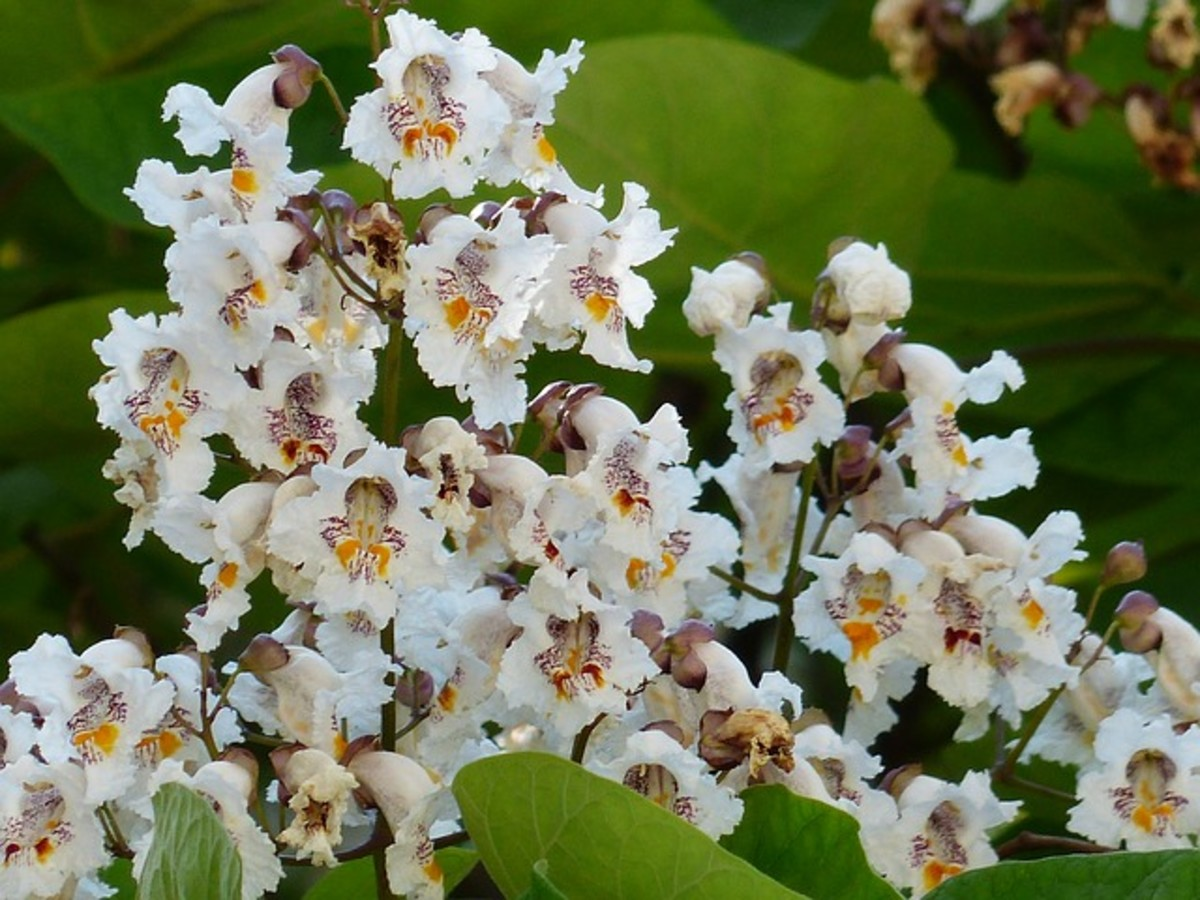 The dense clusters of white flowers, which resemble orchids, are one of the catalpa tree's most attractive features.