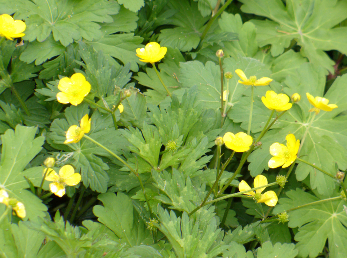 Creeping buttercup.