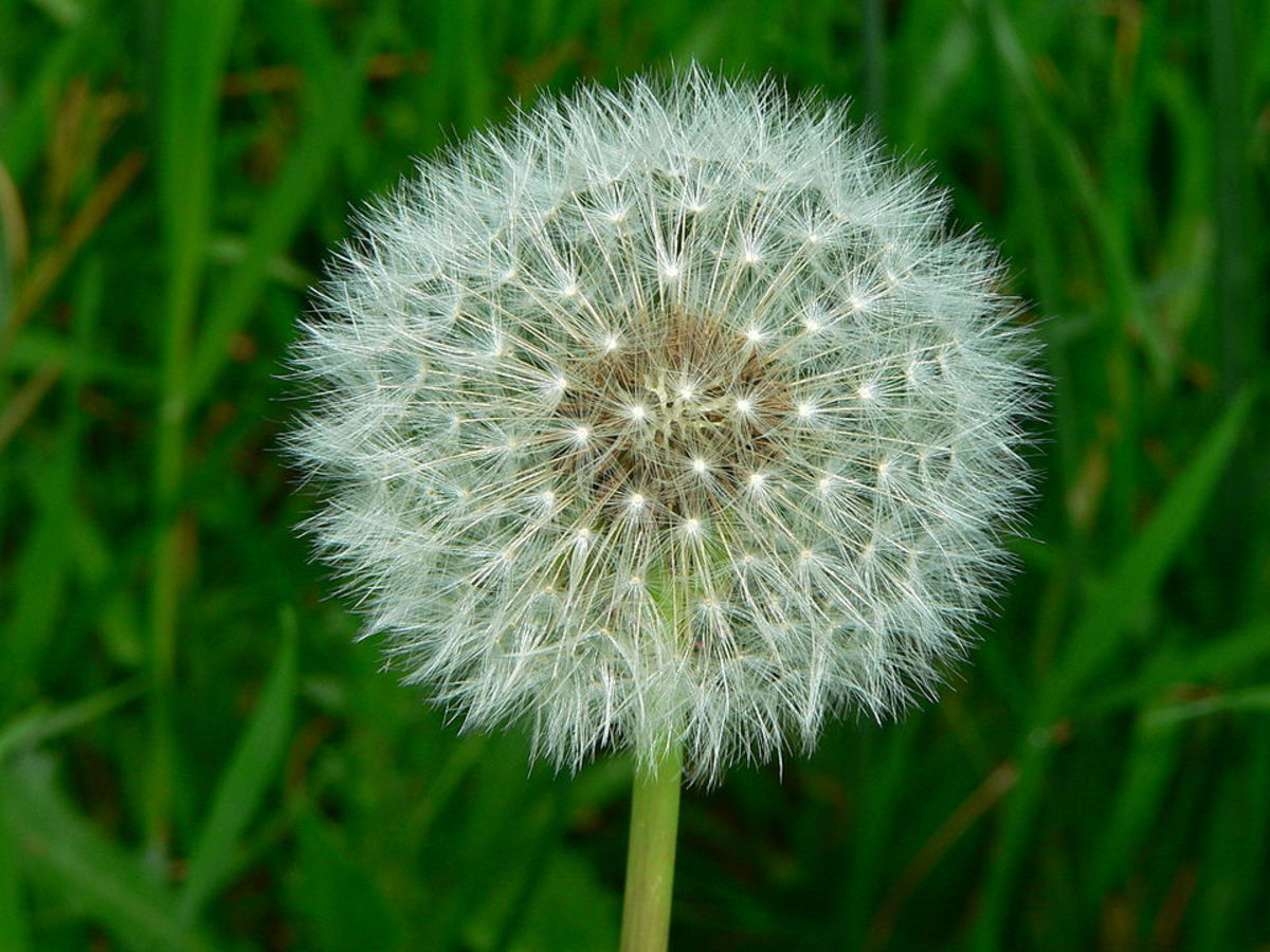 Dandelion seed head. Parachute-like seeds are dispersed by wind.