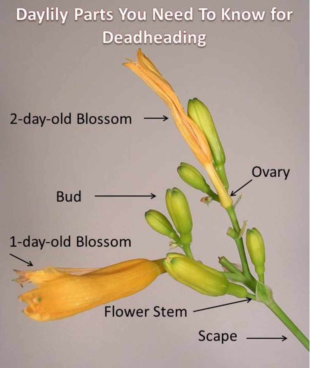 Parts of the daylily.