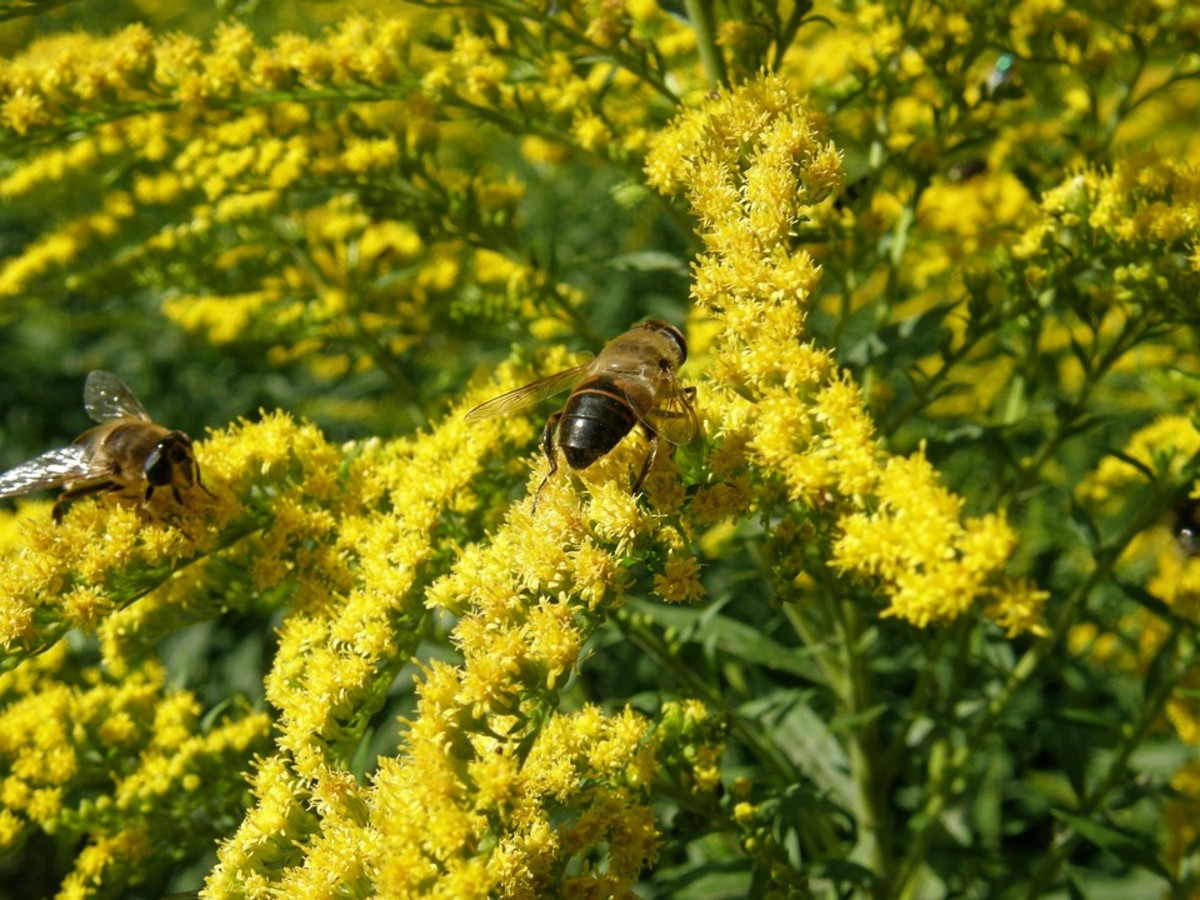 Goldenrod flowers attract bees and other beneficial insects.