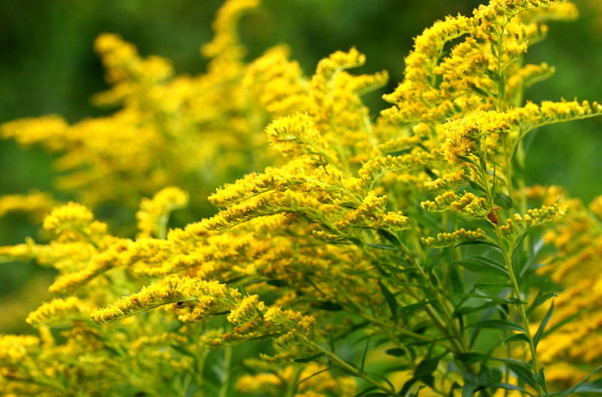 Fall Color - Goldenrod