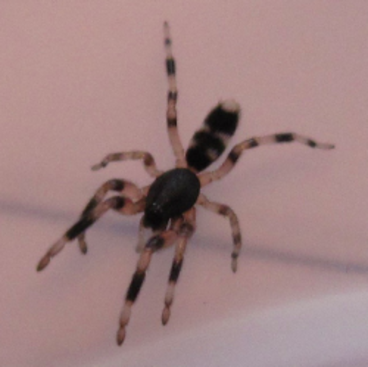White Tail Spider - Dangerous or Overrated?