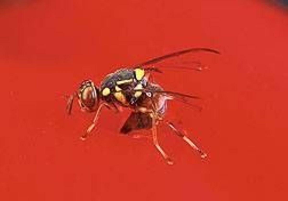 Malaysian fruit fly.